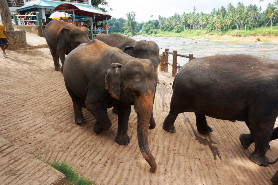 Rundreise Sri Lanka auf eigene Faust Elefantenwaisenhaus Pinnawala
