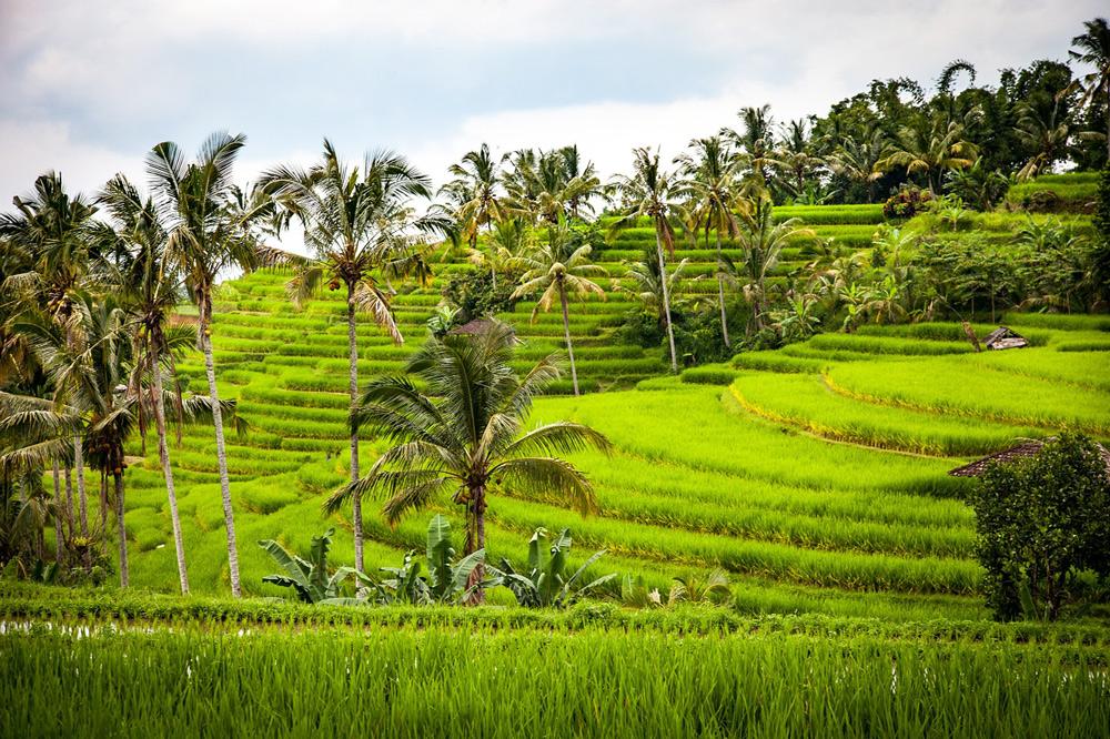 Reis Reisterrassen Bali Rundreise Tipps Reisebericht
