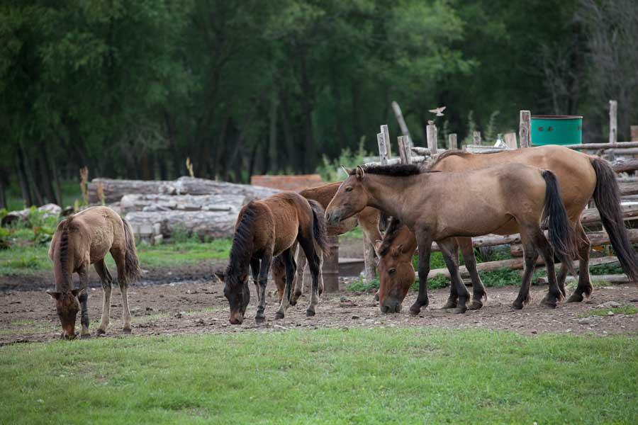 Pferde Mongolei, reiten Mongolei, gorkhi-terelj national park