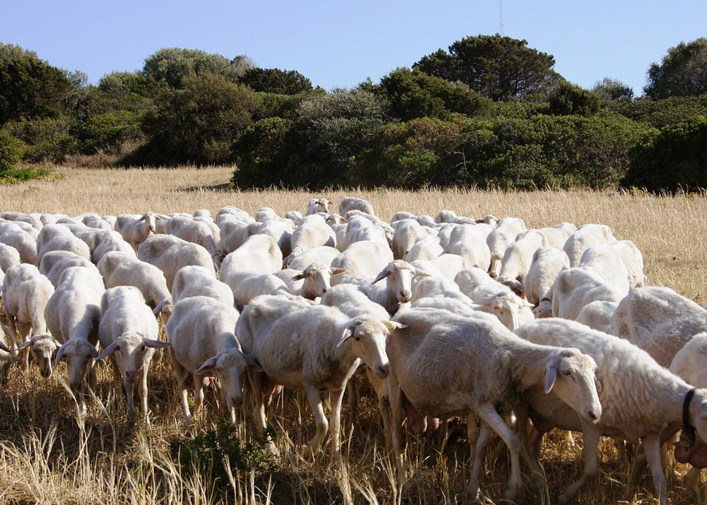 Schafherde, Sonnenuntergang Sardinien mit Kindern, Sardinien wandern