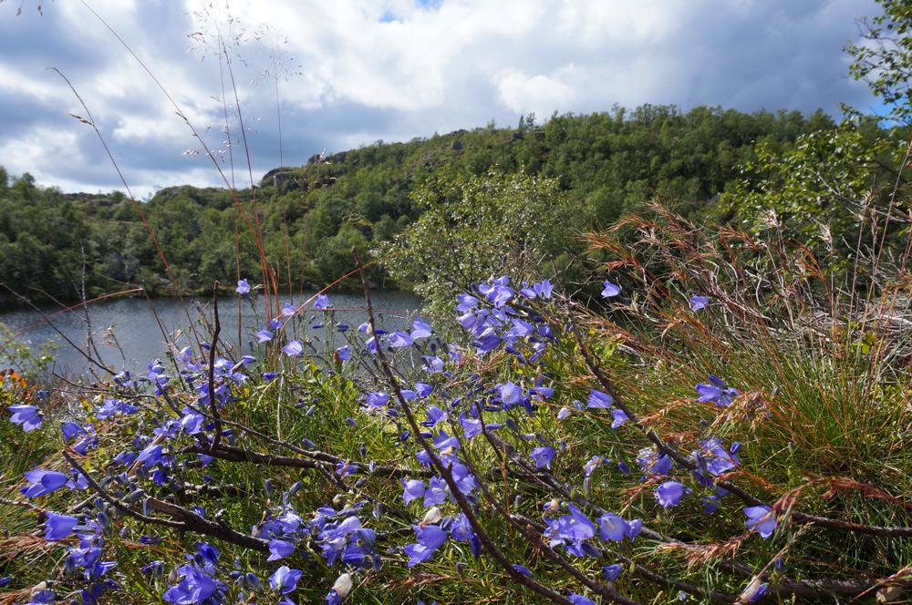 Wanderung Preikestolen Natur Blumen im August