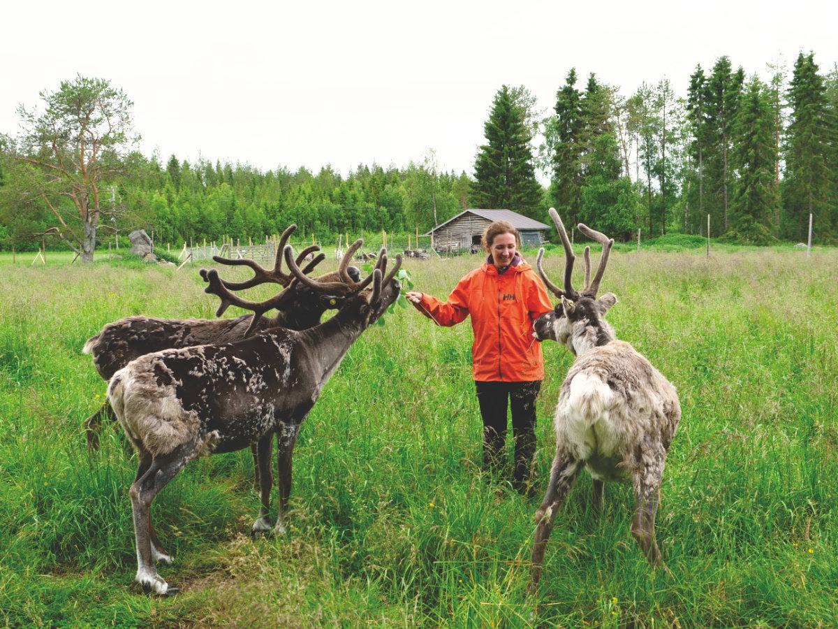 Finnisch-Lappland - Die besten Aktivitäten in Rovaniemi im Sommer. Rentiere vom Santa Claus in Rovaniemi