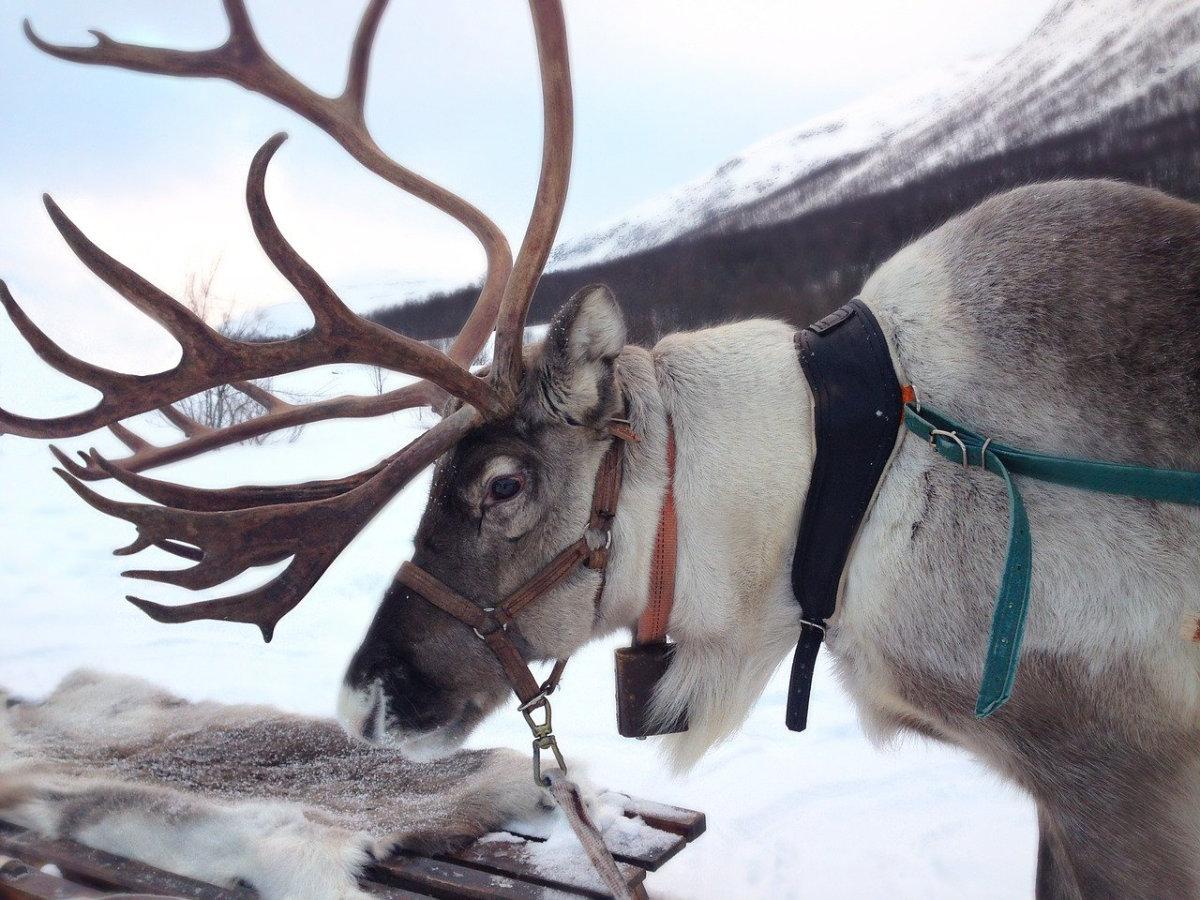 Weihnachten in Norwegen Rentier